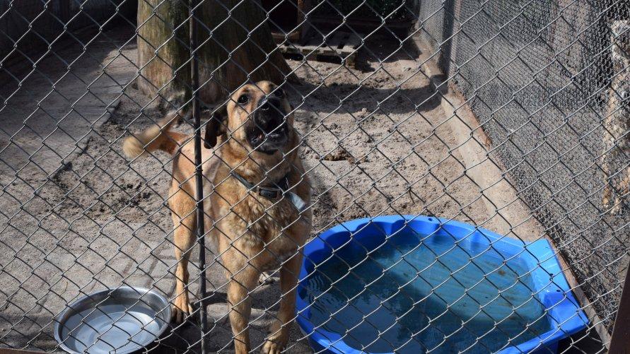 Pies w inowrocławskim schronisku, w boksie, obok stoi miska z wodą oraz basenik do schłodzenia się.